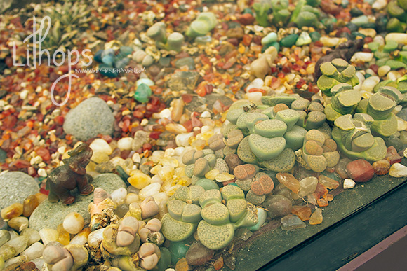 Lithops at Gardens by the Bay