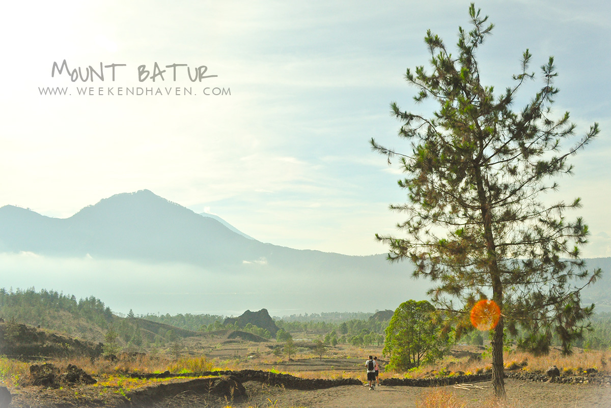 Lone Pine tree at Mt. Batur