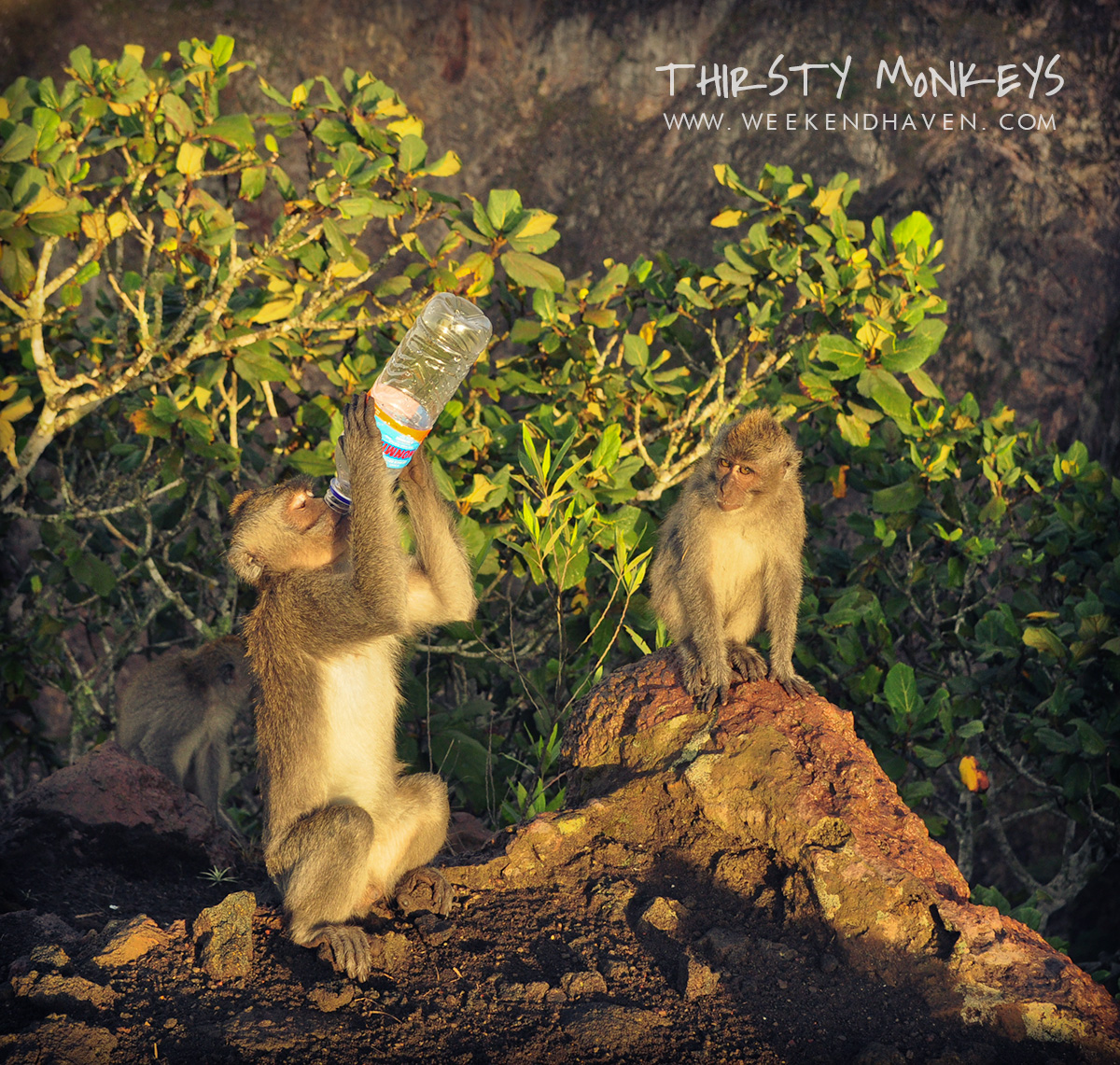 Thirsty Monkeys at Mount Batur