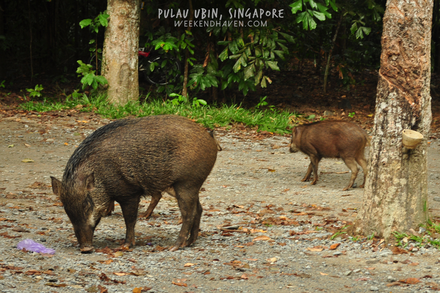 Wild boars at Pulau Ubin